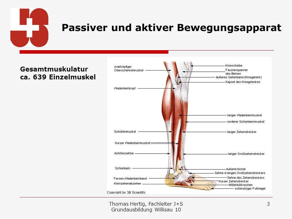 Thomas Hertig, Fachleiter J+S Grundausbildung Willisau 10 3 Passiver und aktiver Bewegungsapparat Gesamtmuskulatur ca. 639 Einzelmuskel