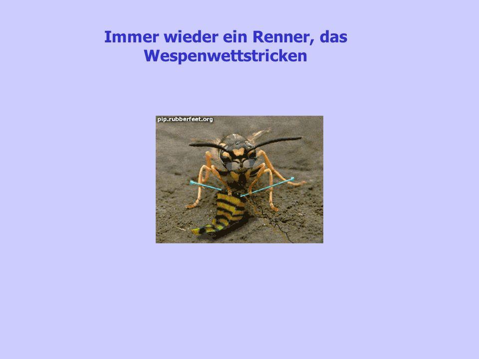 Immer wieder ein Renner, das Wespenwettstricken