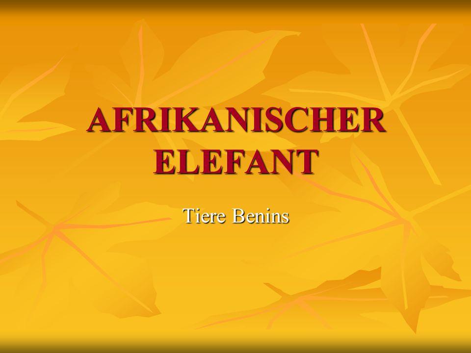 AFRIKANISCHER ELEFANT Tiere Benins