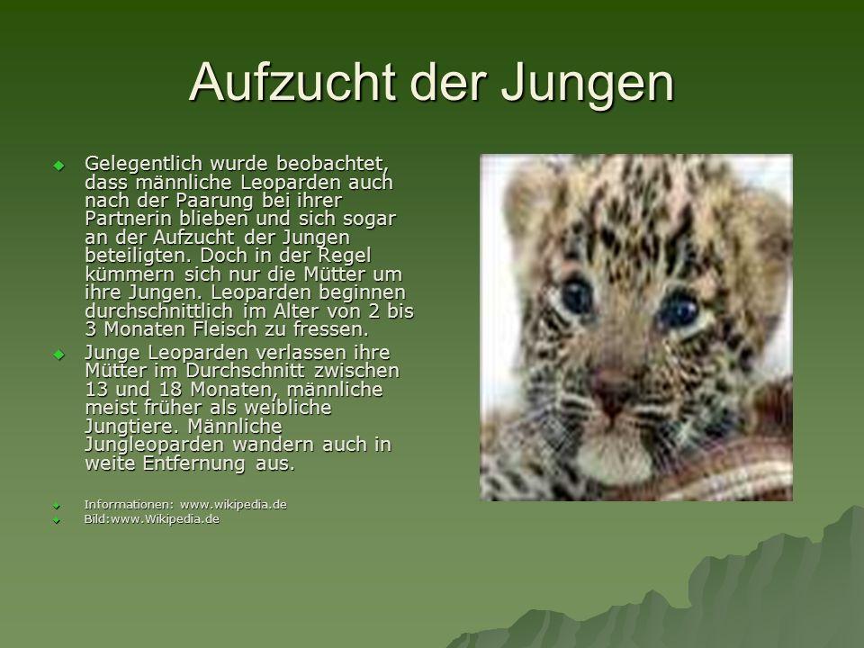 Aufzucht der Jungen Gelegentlich wurde beobachtet, dass männliche Leoparden auch nach der Paarung bei ihrer Partnerin blieben und sich sogar an der Au