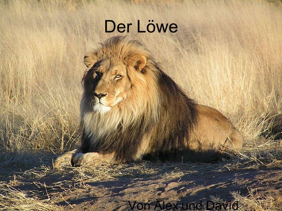 Die wichtigsten Fakten Männchen Kommt in Benin eher nördlich vor Art: Katze Lebt in Rudeln Männchen ist durch eine Mähne gekennzeichnet Größtes Landraubtier Afrikas Männliche Löwen haben eine Schulterhöhe von 1,20m Schwanzlänge: 1 Meter Kopf-Rumpflänge: 1,70m- 2,50 m Gewicht durchschnittlich ( bei Männchen) 225 kg