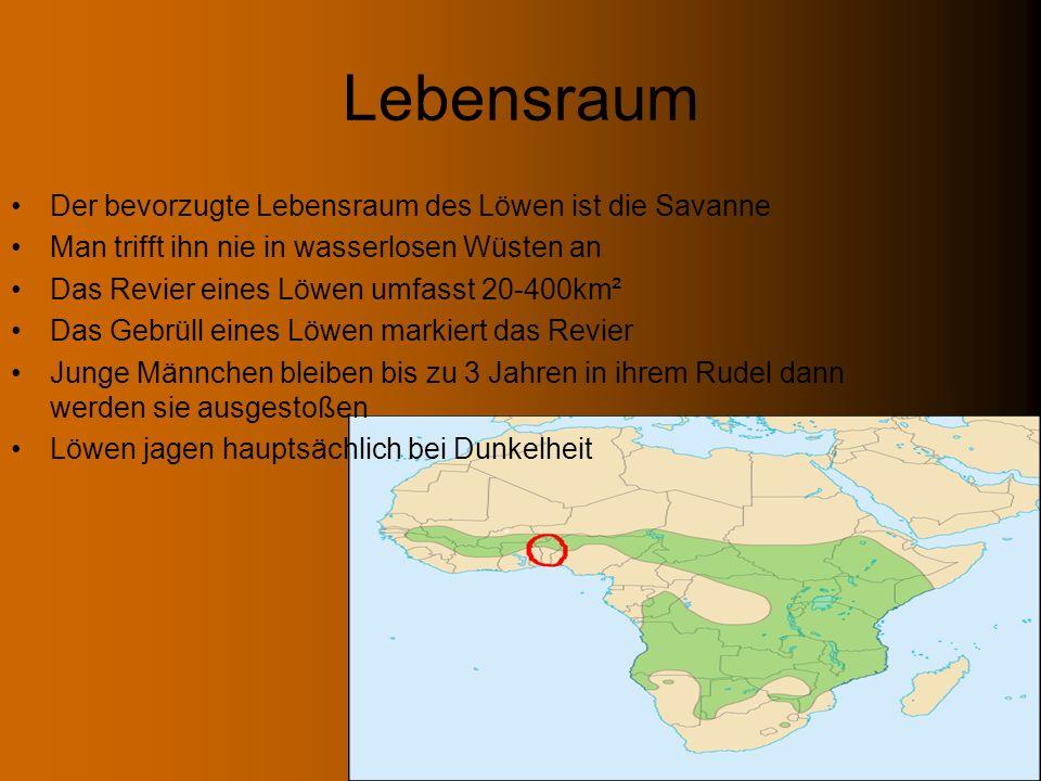 Jagd Löwenweibchen jagen nur in Rudeln (min.