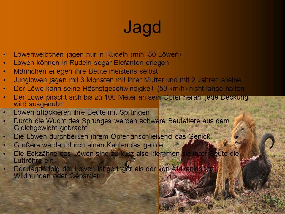 Jagd Löwenweibchen jagen nur in Rudeln (min. 30 Löwen) Löwen können in Rudeln sogar Elefanten erlegen Männchen erlegen ihre Beute meistens selbst Jung
