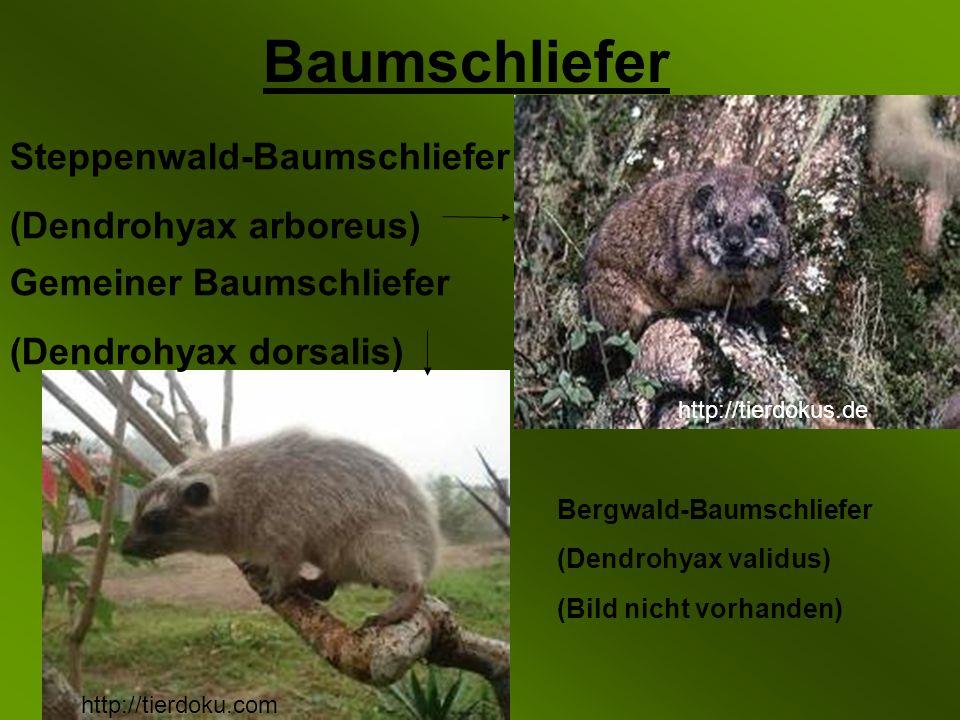 Baumschliefer Steppenwald-Baumschliefer (Dendrohyax arboreus) Gemeiner Baumschliefer (Dendrohyax dorsalis) http://tierdokus.de http://tierdoku.com Bergwald-Baumschliefer (Dendrohyax validus) (Bild nicht vorhanden)