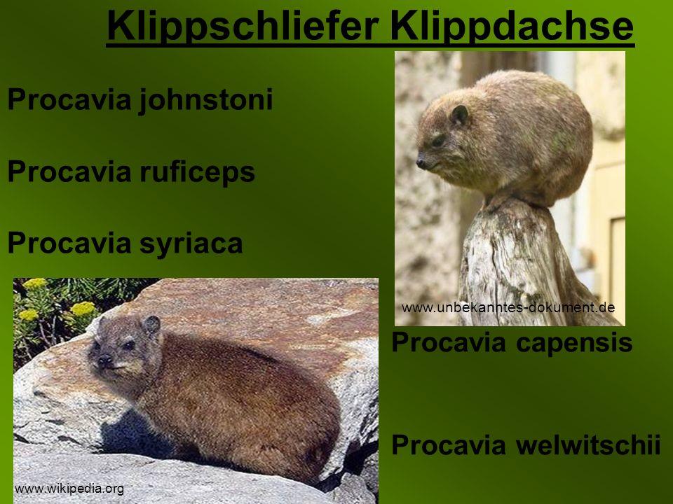 Klippschliefer Klippdachse Procavia capensis Procavia welwitschii Procavia johnstoni Procavia ruficeps Procavia syriaca www.wikipedia.org www.unbekanntes-dokument.de