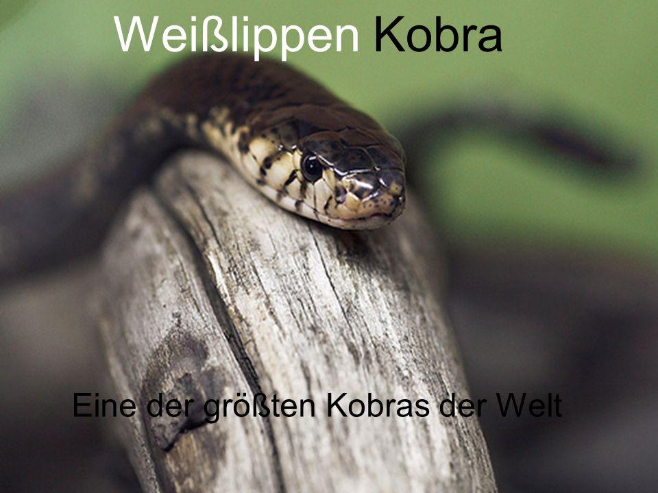 Eine der größten Kobras der Welt Weißlippen Kobra Eine der größten Kobras der Welt