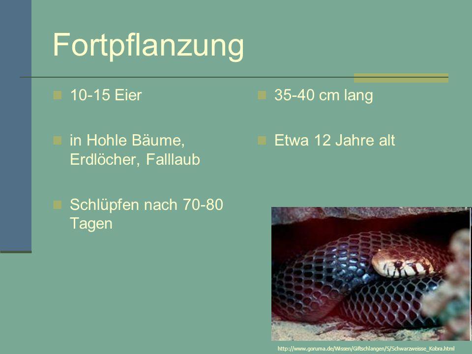 Fortpflanzung 10-15 Eier in Hohle Bäume, Erdlöcher, Falllaub Schlüpfen nach 70-80 Tagen 35-40 cm lang Etwa 12 Jahre alt http://www.goruma.de/Wissen/Giftschlangen/S/Schwarzweisse_Kobra.html