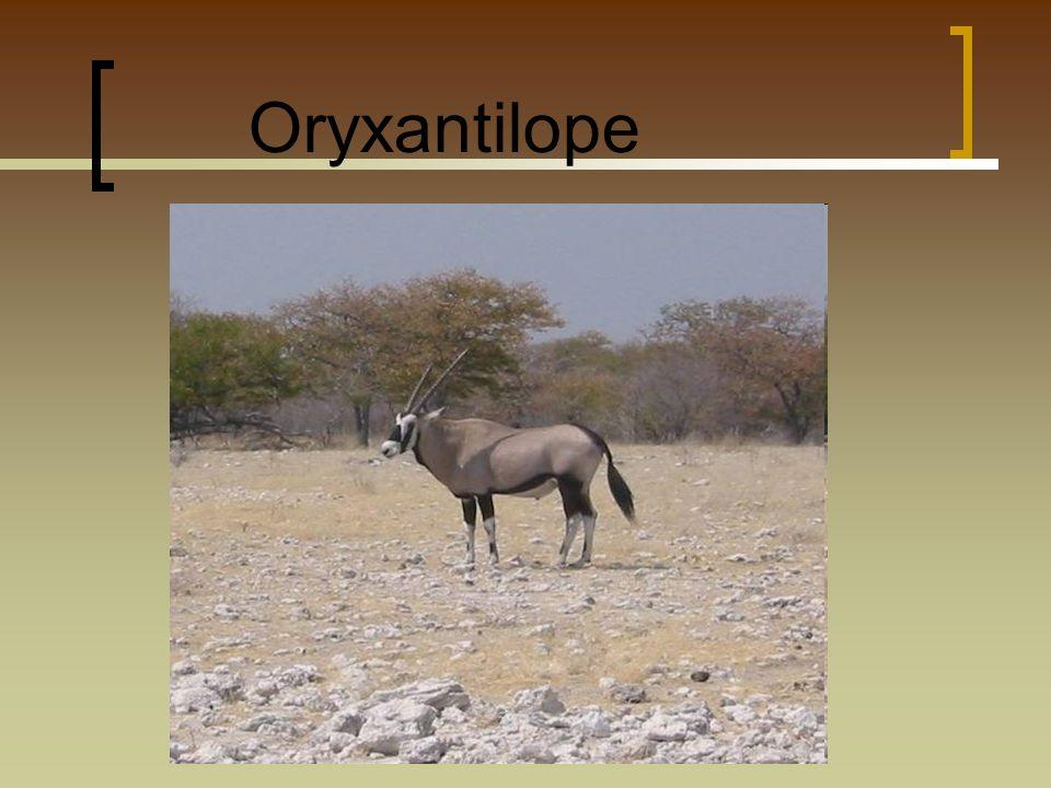 Allgemeine Information Die Oryxantilopen sind eine Gattung der Pferdeböcke.