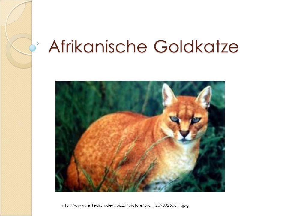 Afrikanische Goldkatze http://www.testedich.de/quiz27/picture/pic_1269802608_1.jpg