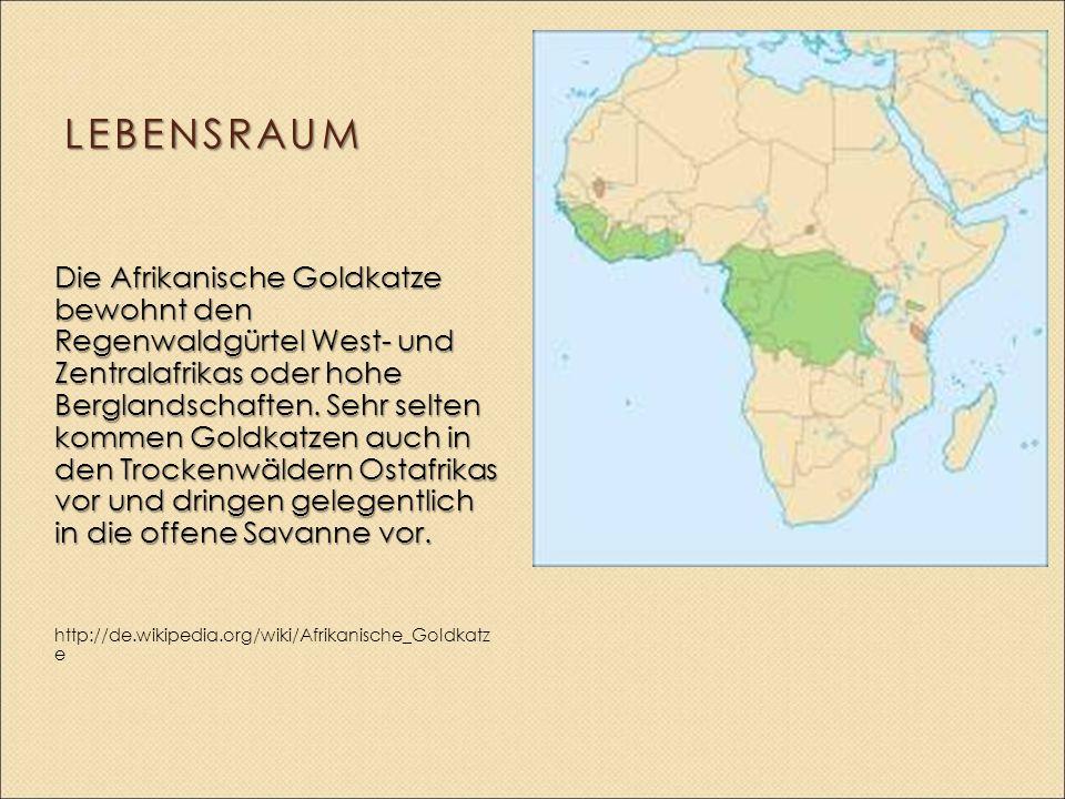 LEBENSRAUM Die Afrikanische Goldkatze bewohnt den Regenwaldgürtel West- und Zentralafrikas oder hohe Berglandschaften. Sehr selten kommen Goldkatzen a