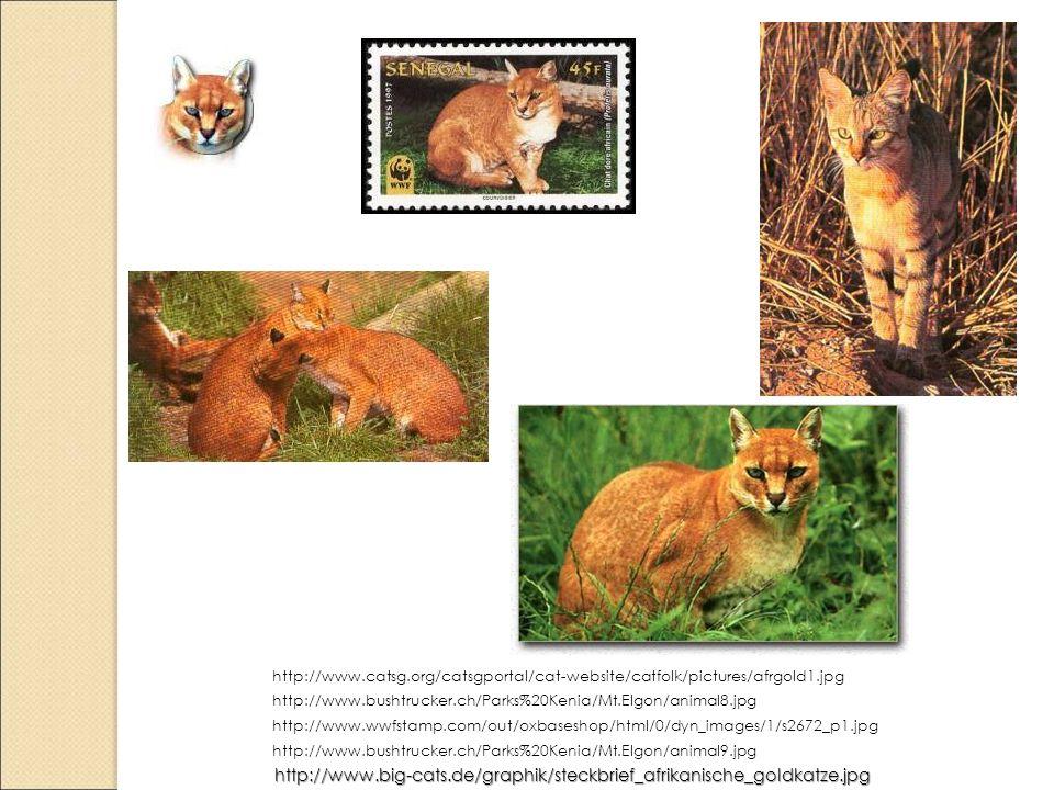 http://www.big-cats.de/graphik/steckbrief_afrikanische_goldkatze.jpg http://www.bushtrucker.ch/Parks%20Kenia/Mt.Elgon/animal9.jpg http://www.wwfstamp.