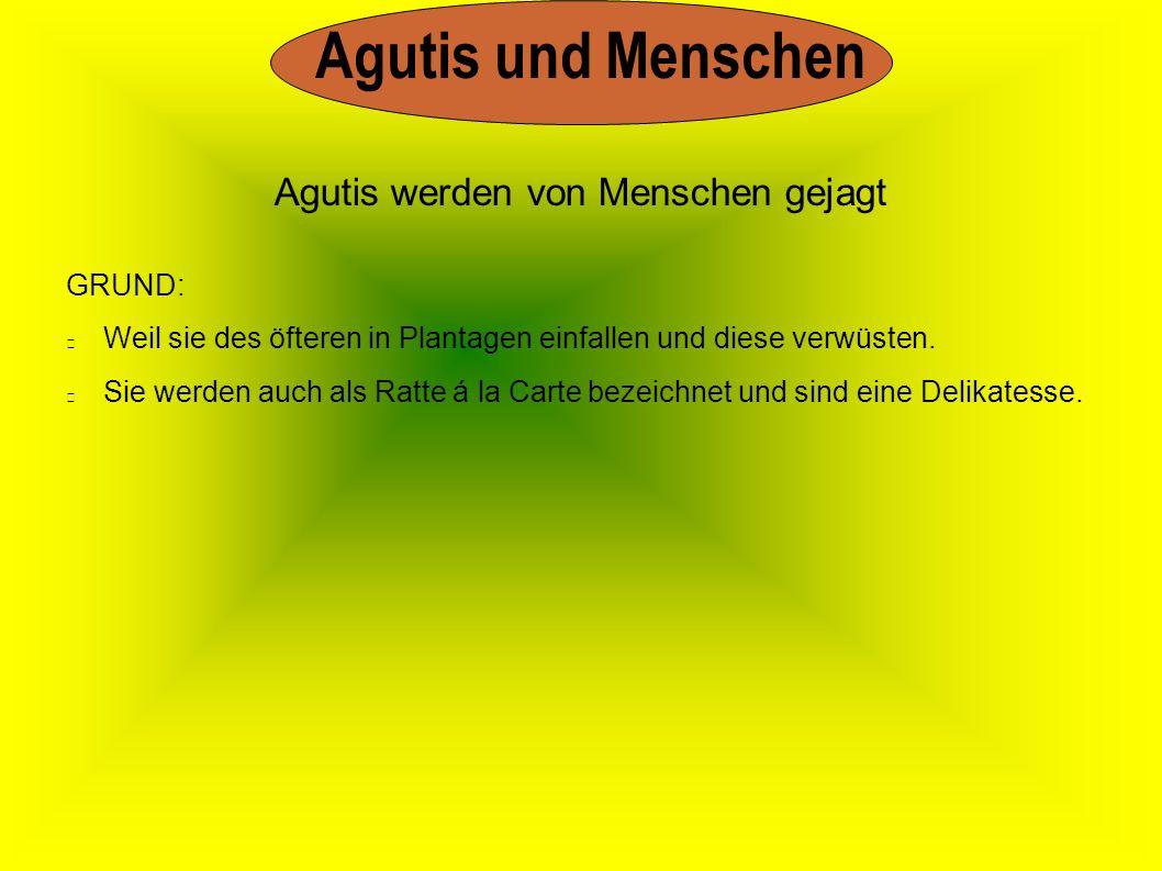 Agutis und Menschen GRUND: Weil sie des öfteren in Plantagen einfallen und diese verwüsten. Sie werden auch als Ratte á la Carte bezeichnet und sind e