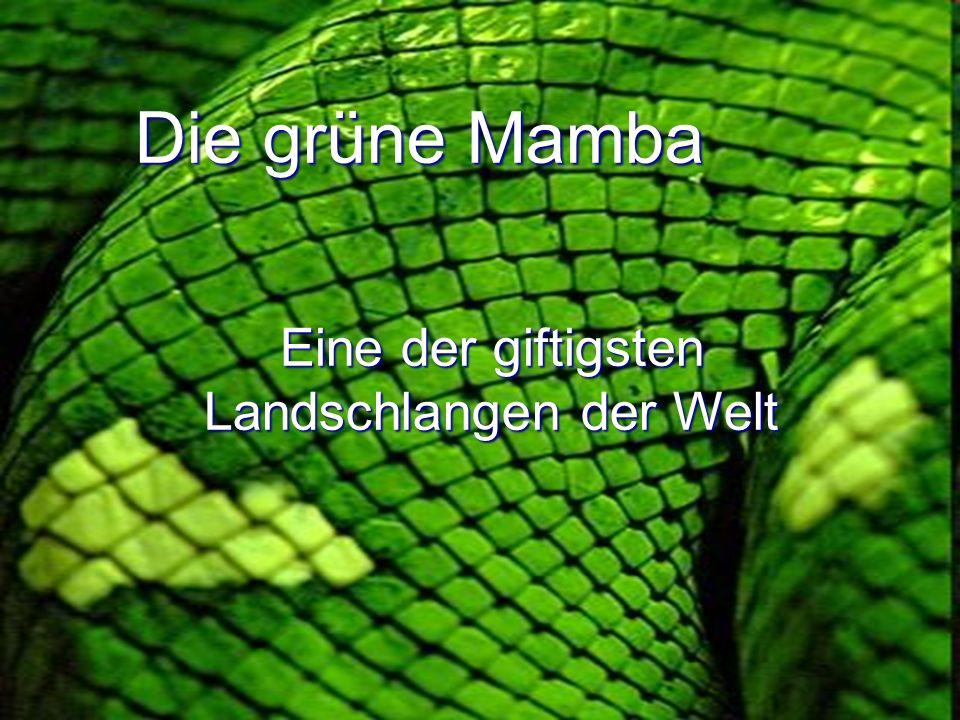 Eine der giftigsten Landschlangen der Welt Die grüne Mamba