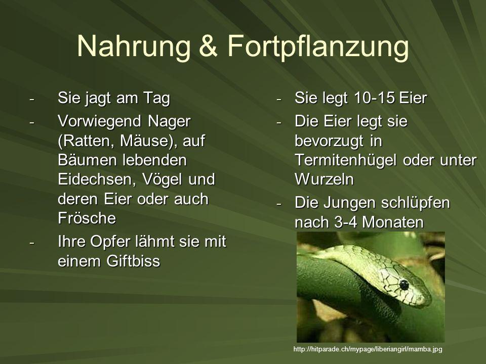 Nahrung & Fortpflanzung - Sie jagt am Tag - Vorwiegend Nager (Ratten, Mäuse), auf Bäumen lebenden Eidechsen, Vögel und deren Eier oder auch Frösche -