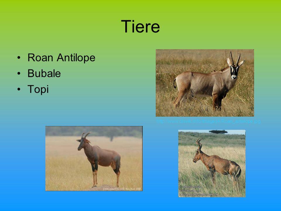 Tiere Roan Antilope Bubale Topi http://www.olsvik.info/Images4/Roan_antelope.jpg