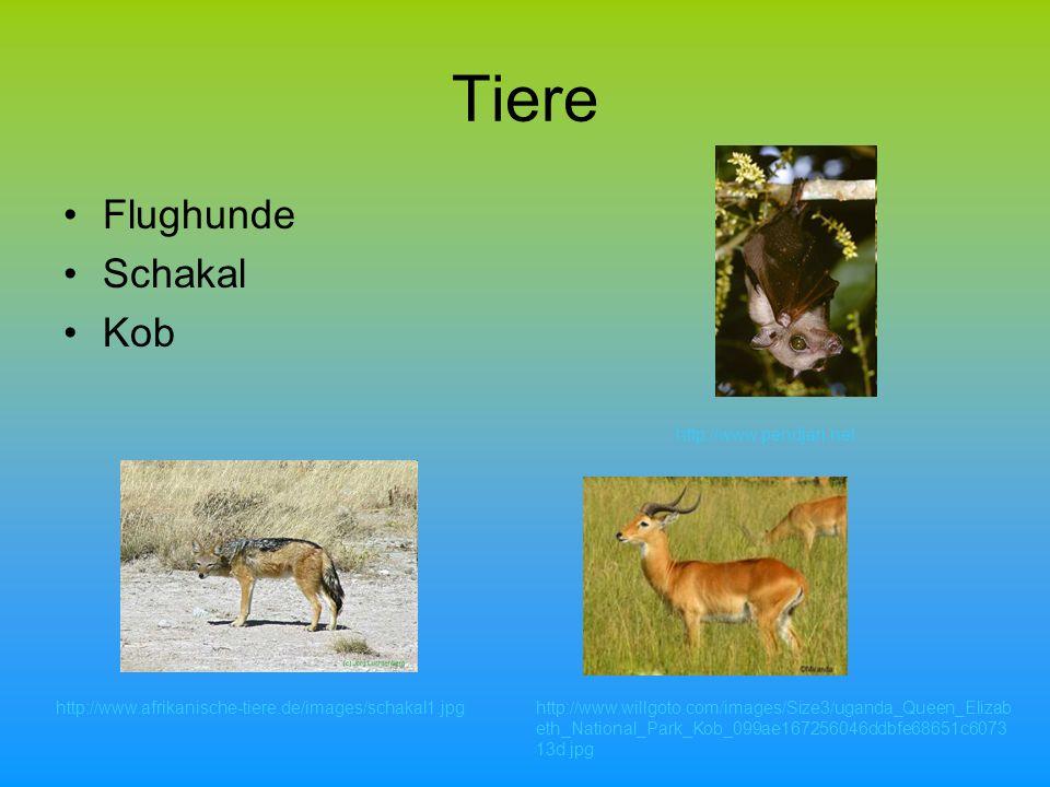 Tiere Flughunde Schakal Kob http://www.afrikanische-tiere.de/images/schakal1.jpghttp://www.willgoto.com/images/Size3/uganda_Queen_Elizab eth_National_Park_Kob_099ae167256046ddbfe68651c6073 13d.jpg http://www.pendjari.net