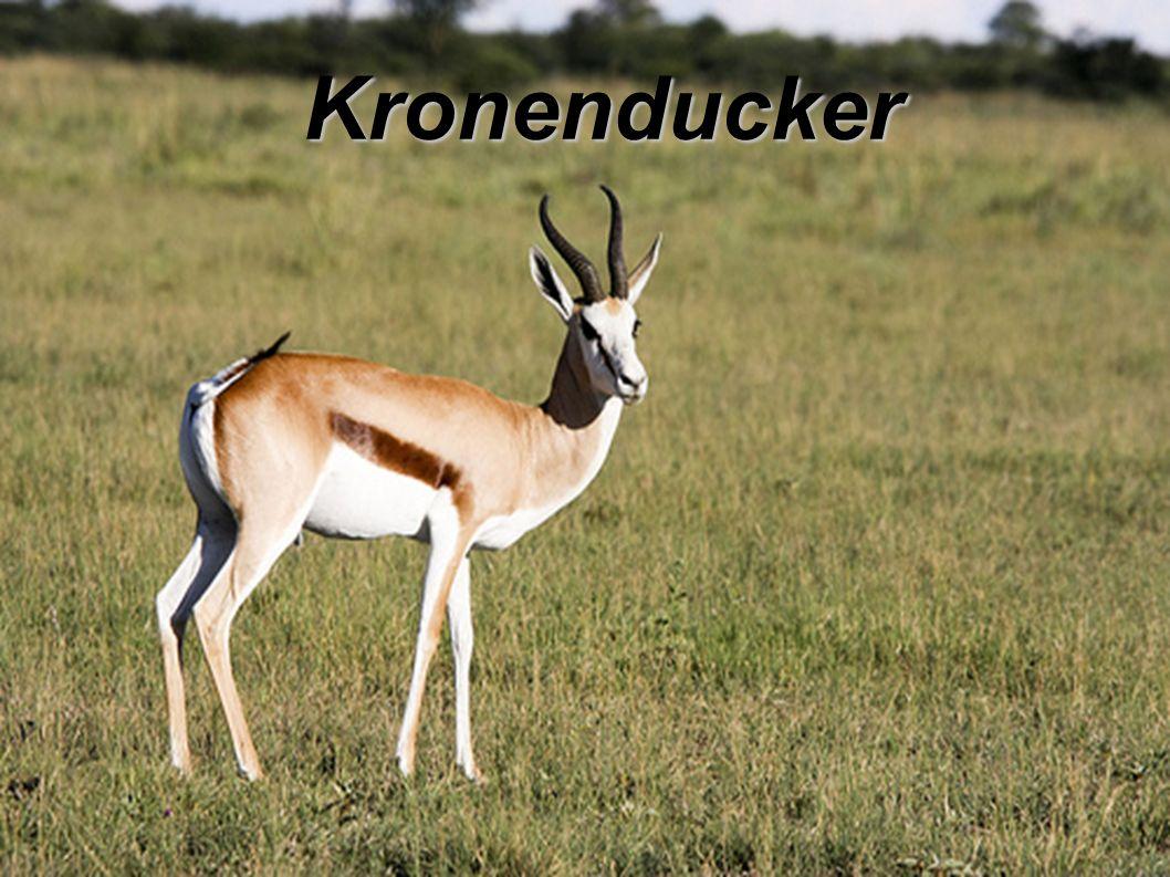 Kronenducker