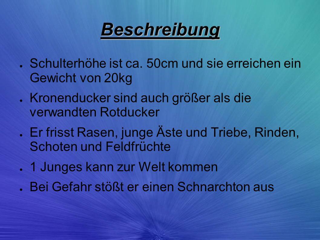 Beschreibung Schulterhöhe ist ca. 50cm und sie erreichen ein Gewicht von 20kg Kronenducker sind auch größer als die verwandten Rotducker Er frisst Ras