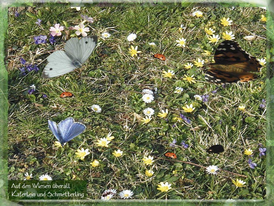 Auf den Wiesen überall Käferlein und Schmetterling