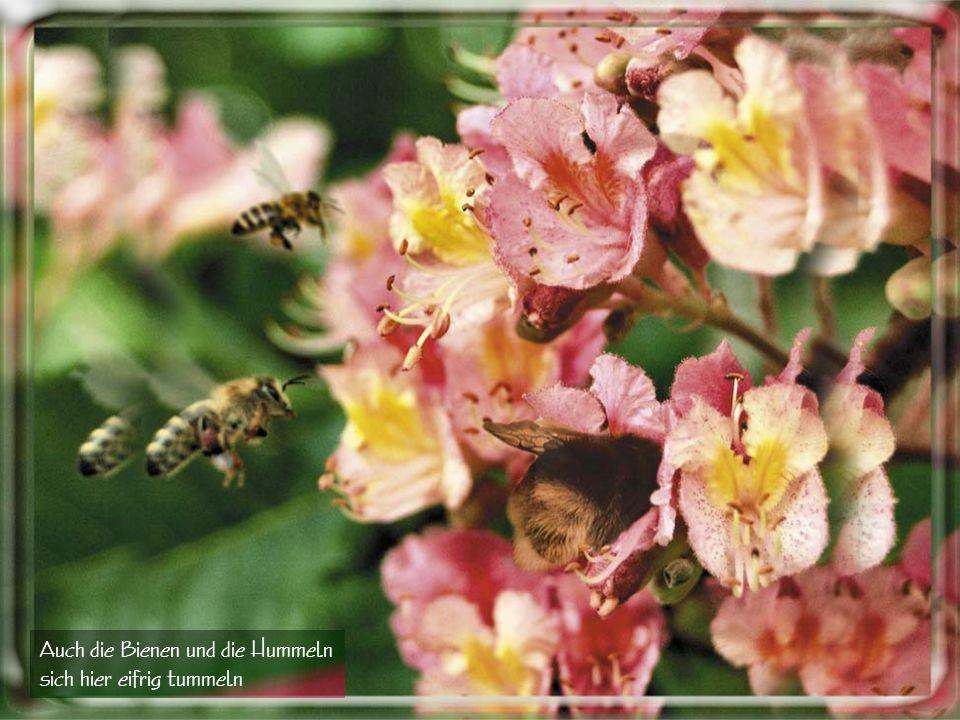 Auch die Bienen und die Hummeln sich hier eifrig tummeln
