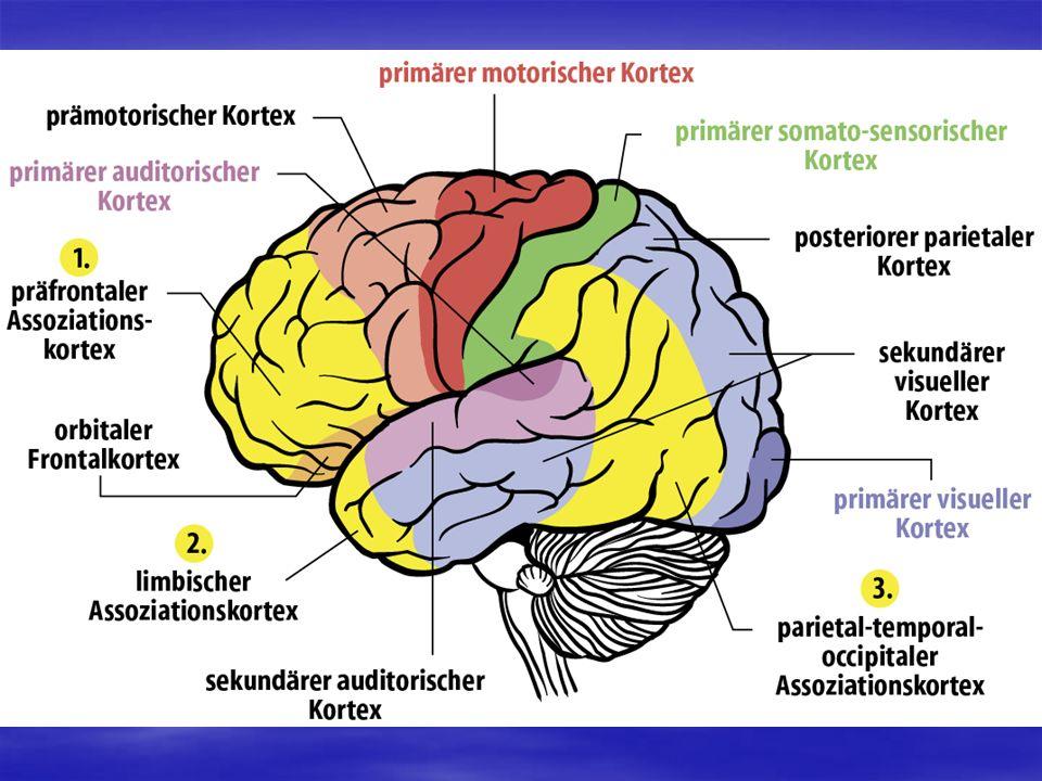 Analyse der Großhirntätigkeit mit EKP Analyse der Großhirntätigkeit mit EKP Vor, während und nach einem sensorischen, motorischen oder psychischen Ereignis sind im Elektroenzephalogramm spezifische elektrokortikale Potentiale messbar.