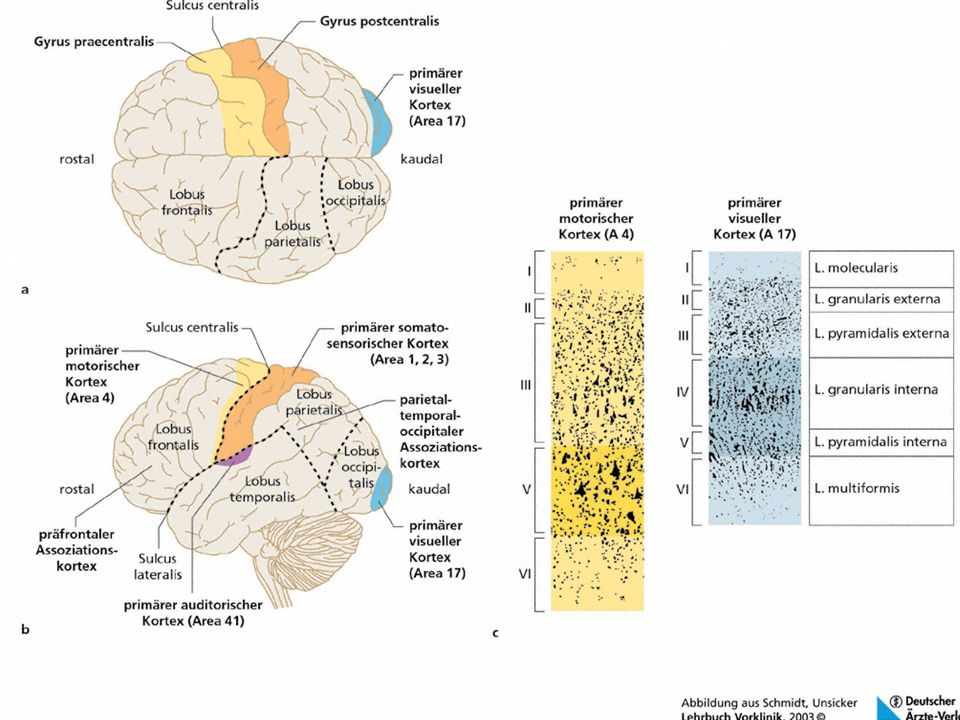 Bewusstlosigkeit und Lähmungen Bewusstlosigkeit und Lähmungen Späte ereigniskorrelierte Potentiale spiegeln je nach ihrem anatomischen Ort, ihrer Form und ihrer zeitlichen Latenz (»Komponenten«) unterschiedliche informationsverarbeitende Prozesse wider.