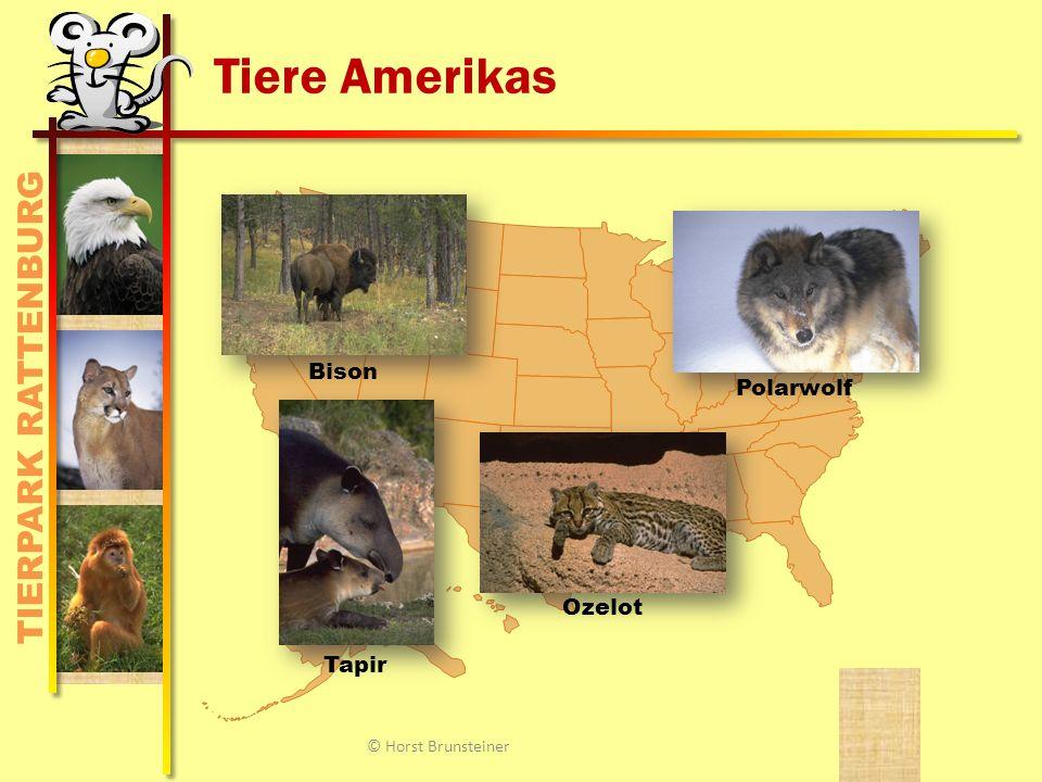 TIERPARK RATTENBURG Tiere Amerikas Bison Ozelot Polarwolf Tapir © Horst Brunsteiner
