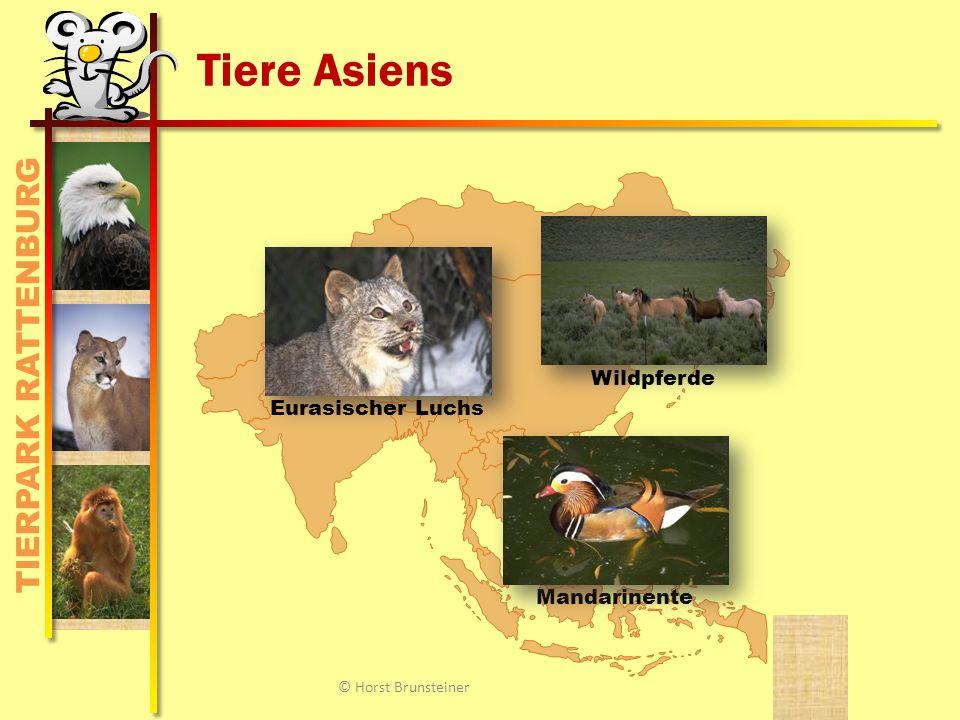 TIERPARK RATTENBURG Tiere Asiens MandarinenteEurasischer Luchs Wildpferde © Horst Brunsteiner