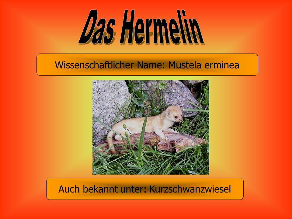 Wissenschaftlicher Name: Mustela erminea Auch bekannt unter: Kurzschwanzwiesel