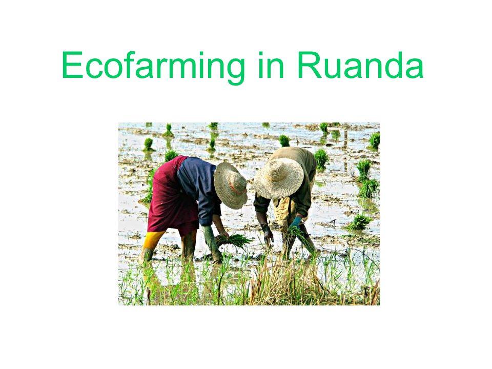 Bedingungen Für Nassreisanbau: 1.30-32°C mindestens 20°C 2.Genügend Wasser 3.Viel Sonnenschein In Ruanda liegt der Durschschnitt der Größe der Betriebe bei 0,9 ha.