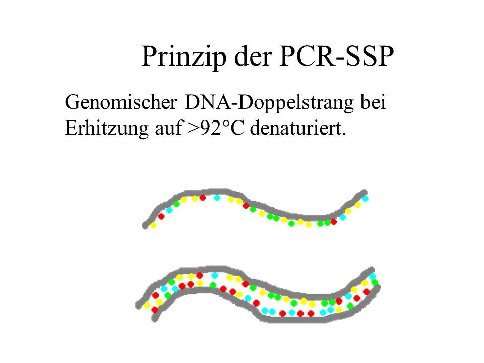 Prinzip der PCR-SSP Genomischer DNA-Doppelstrang bei Erhitzung auf >92°C denaturiert.