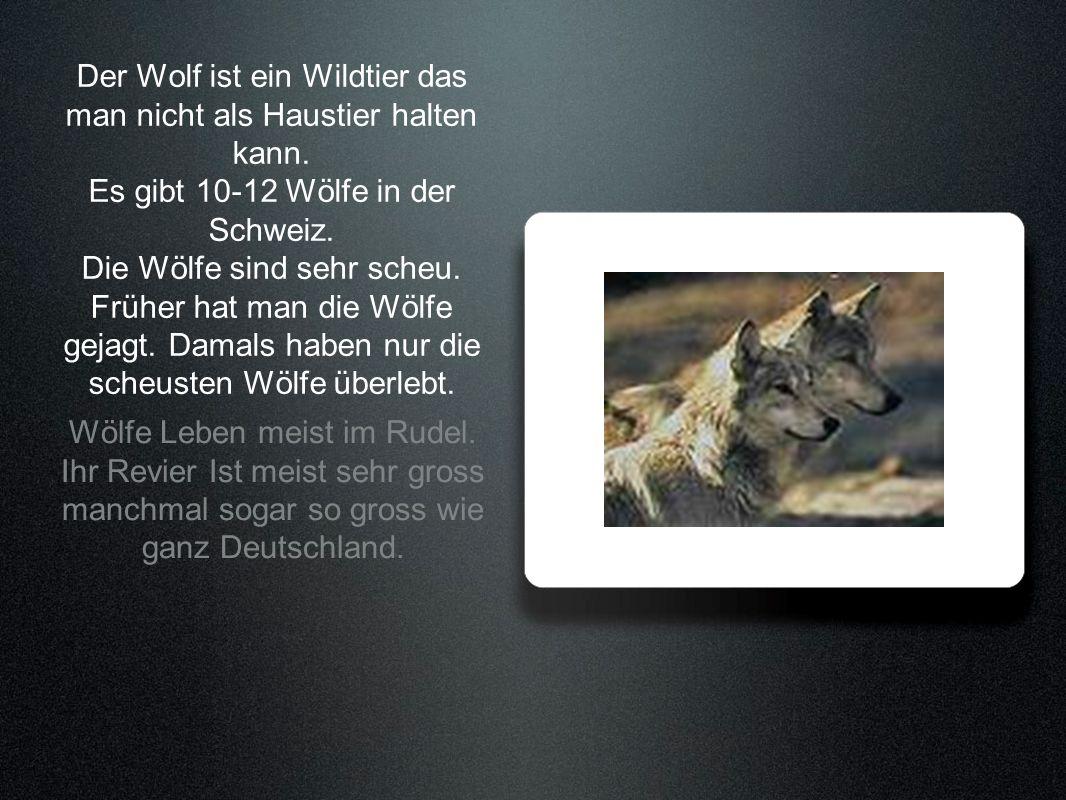Der Wolf ist ein Wildtier das man nicht als Haustier halten kann. Es gibt 10-12 Wölfe in der Schweiz. Die Wölfe sind sehr scheu. Früher hat man die Wö