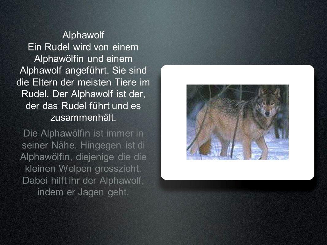 Alphawolf Ein Rudel wird von einem Alphawölfin und einem Alphawolf angeführt. Sie sind die Eltern der meisten Tiere im Rudel. Der Alphawolf ist der, d