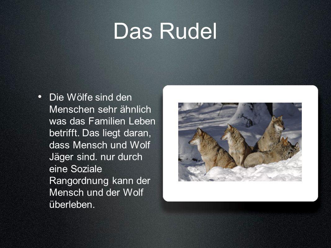 Das Rudel Die Wölfe sind den Menschen sehr ähnlich was das Familien Leben betrifft. Das liegt daran, dass Mensch und Wolf Jäger sind. nur durch eine S