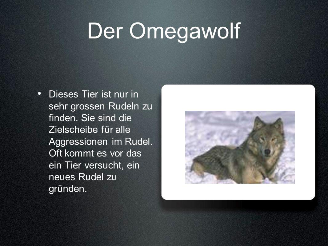 Der Omegawolf Dieses Tier ist nur in sehr grossen Rudeln zu finden. Sie sind die Zielscheibe für alle Aggressionen im Rudel. Oft kommt es vor das ein
