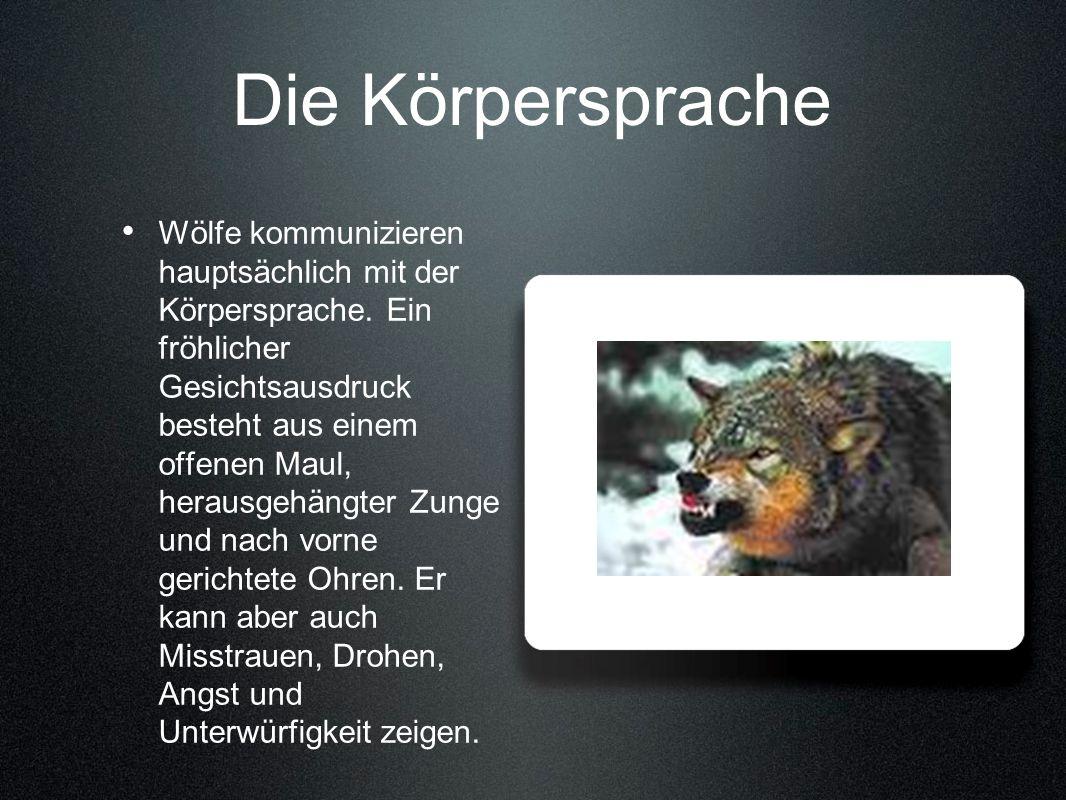 Die Körpersprache Wölfe kommunizieren hauptsächlich mit der Körpersprache. Ein fröhlicher Gesichtsausdruck besteht aus einem offenen Maul, herausgehän