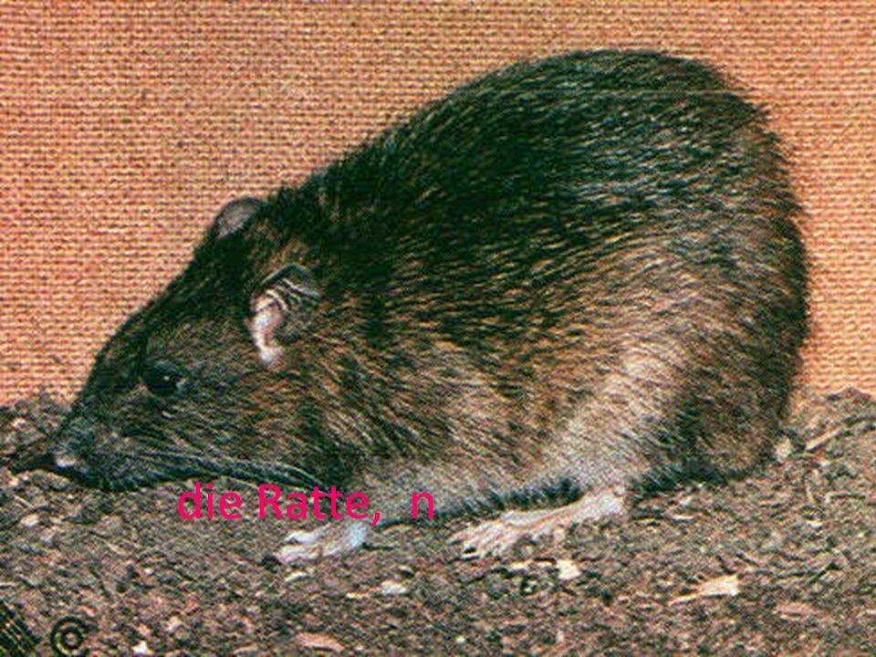 die Ratte, n