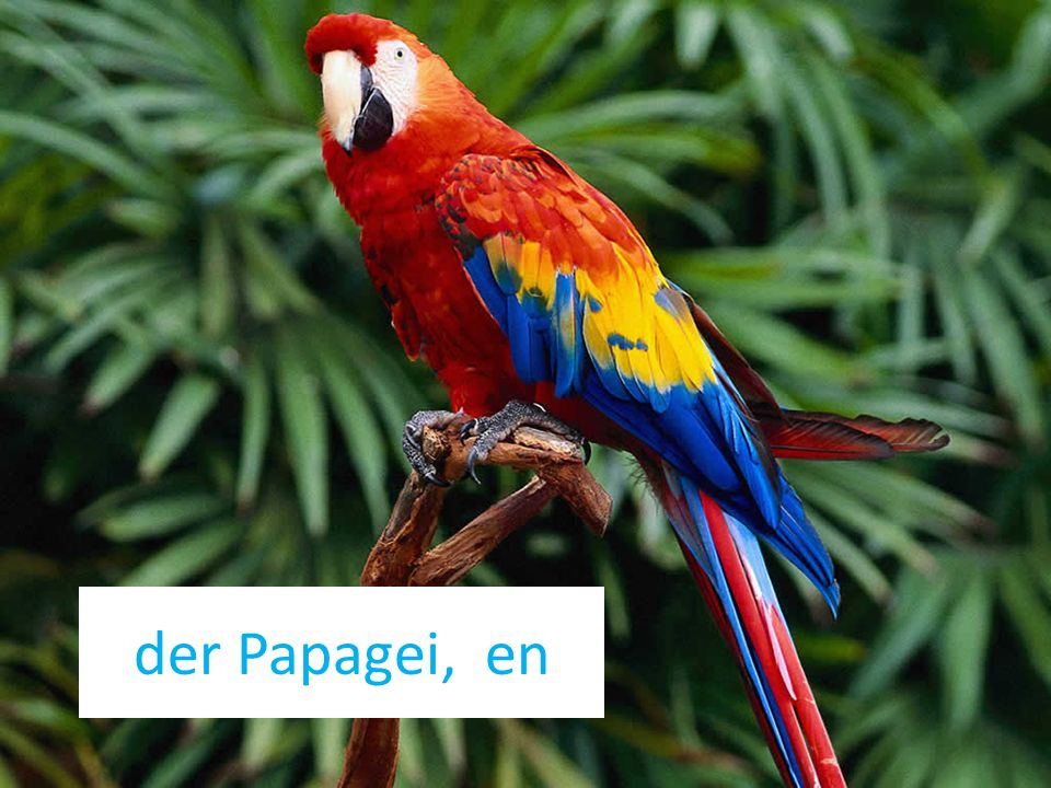 der Papagei, en