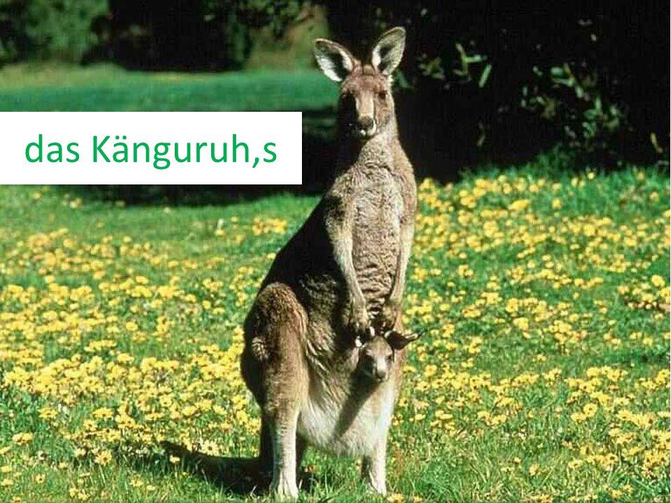 das Känguruh,s