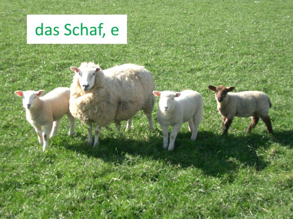 das Schaf, e