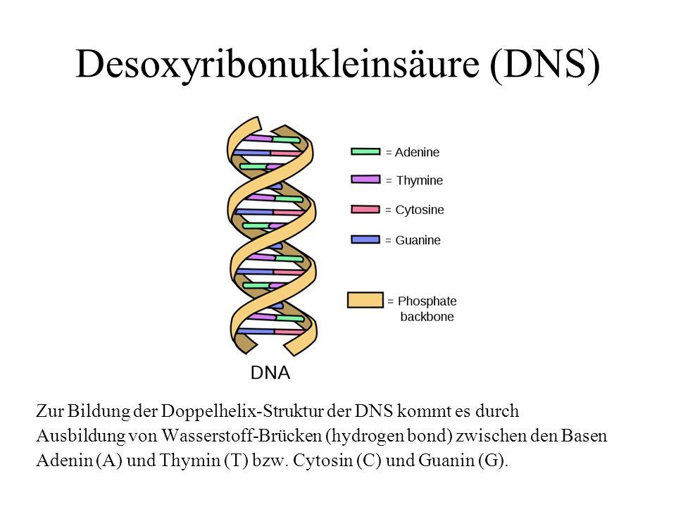 Desoxyribonukleinsäure (DNS) Zur Bildung der Doppelhelix-Struktur der DNS kommt es durch Ausbildung von Wasserstoff-Brücken (hydrogen bond) zwischen d