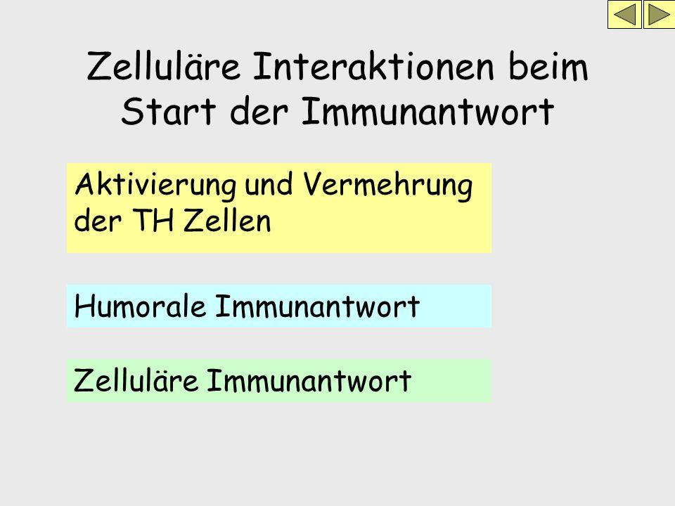 Zelluläre Interaktionen beim Start der Immunantwort Aktivierung und Vermehrung der TH Zellen Humorale Immunantwort Zelluläre Immunantwort