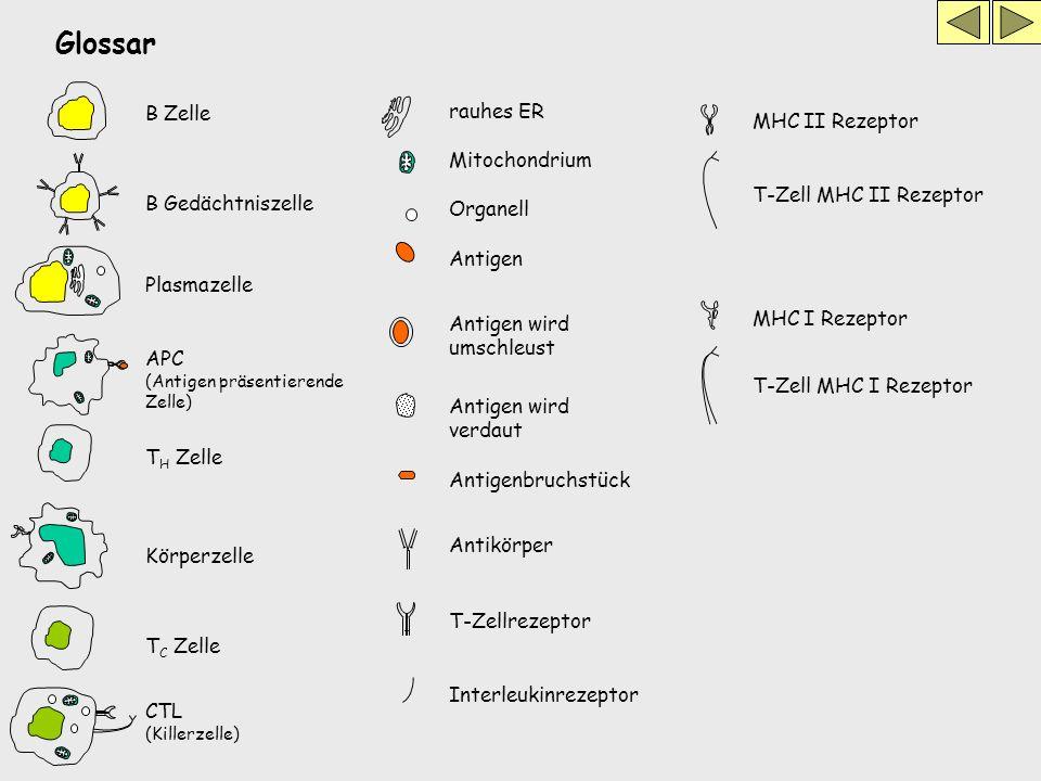 Glossar B Zelle rauhes ER T H Zelle Mitochondrium Antigen Antigen wird umschleust T C Zelle Plasmazelle Körperzelle Antikörper Antigenbruchstück Antig