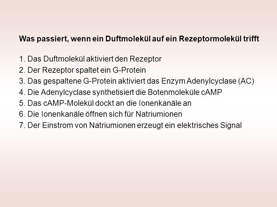 Was passiert, wenn ein Duftmolekül auf ein Rezeptormolekül trifft 1. Das Duftmolekül aktiviert den Rezeptor 2. Der Rezeptor spaltet ein G-Protein 3. D