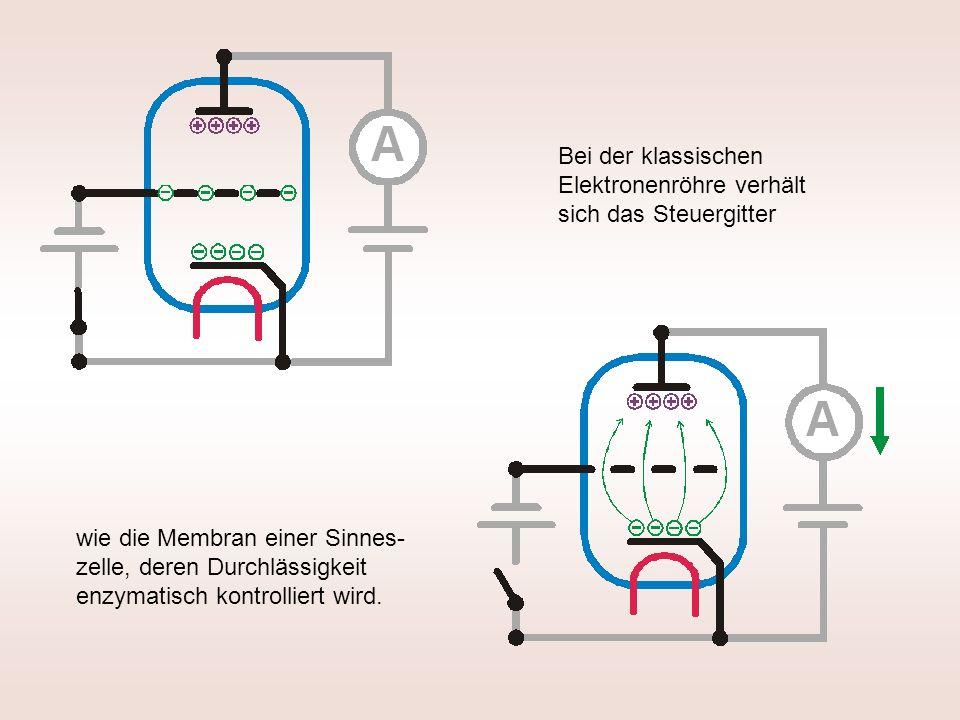 Bei der klassischen Elektronenröhre verhält sich das Steuergitter wie die Membran einer Sinnes- zelle, deren Durchlässigkeit enzymatisch kontrolliert