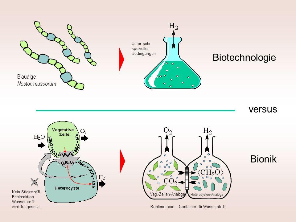 Biotechnologie Bionik versus Blaualge Nostoc muscorum Unter sehr speziellen Bedingungen Kein Stickstoff! Fehlreaktion. Wasserstoff wird freigesetzt. K