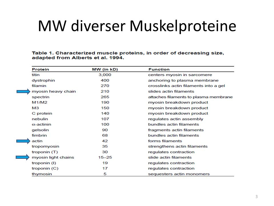 MW diverser Muskelproteine 3