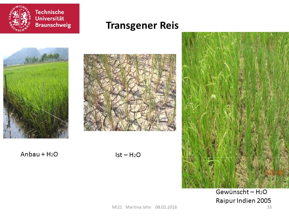 Mi21 Martina Jahn 08.02.201633 Transgener Reis Anbau + H 2 O Ist – H 2 O Gewünscht – H 2 O Raipur Indien 2005