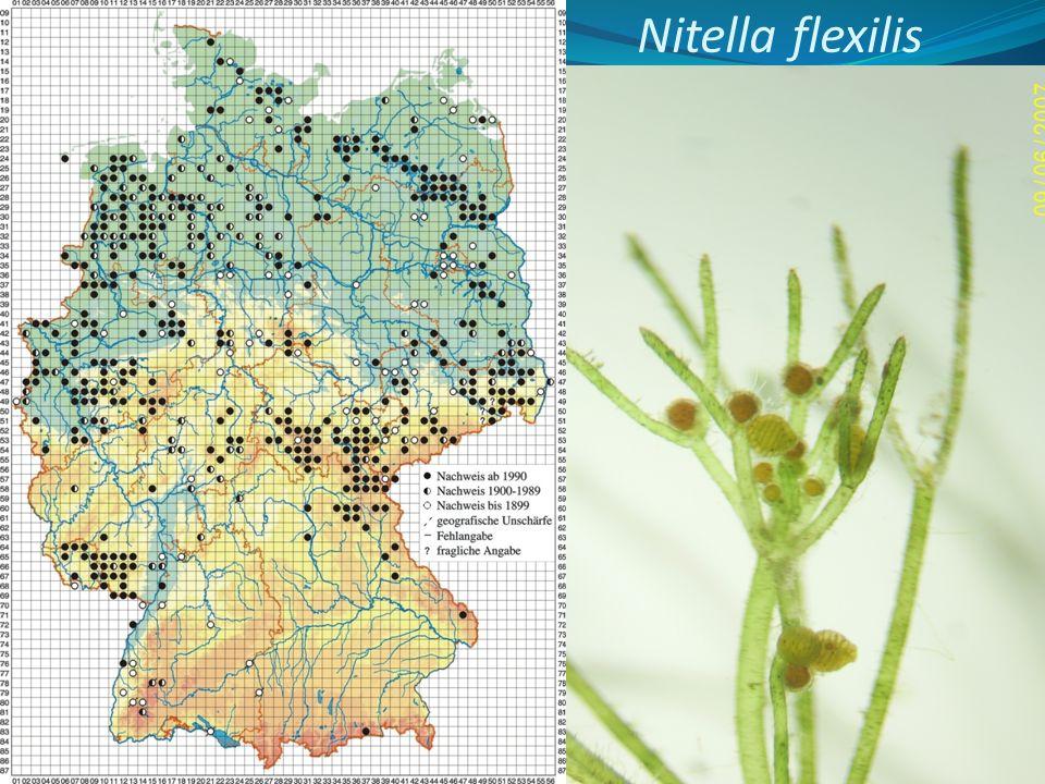 Nitella flexilis