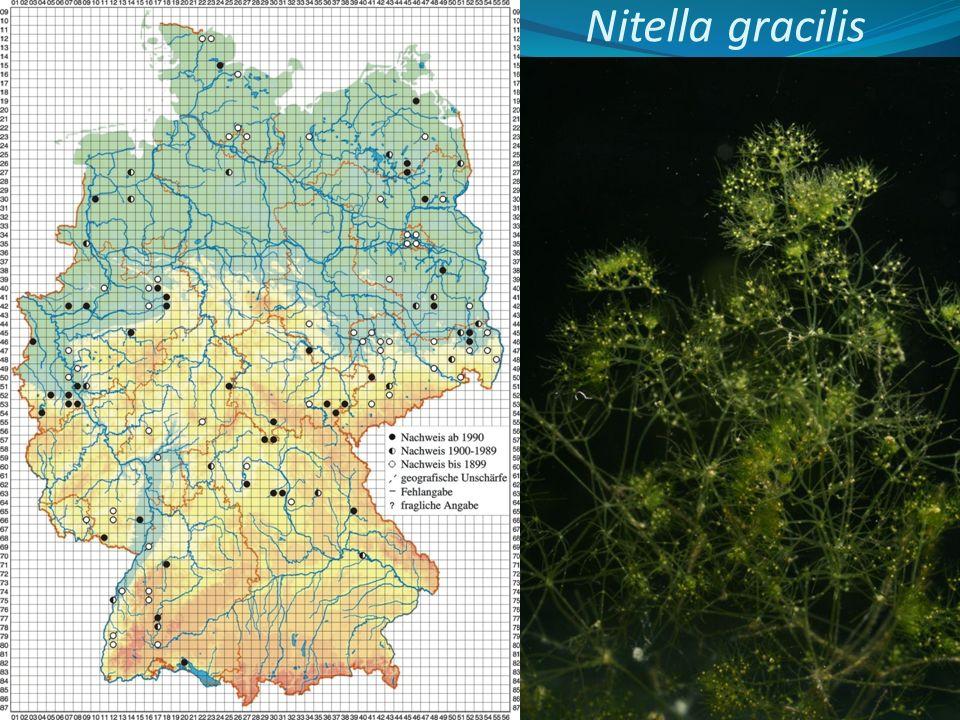 Nitella gracilis